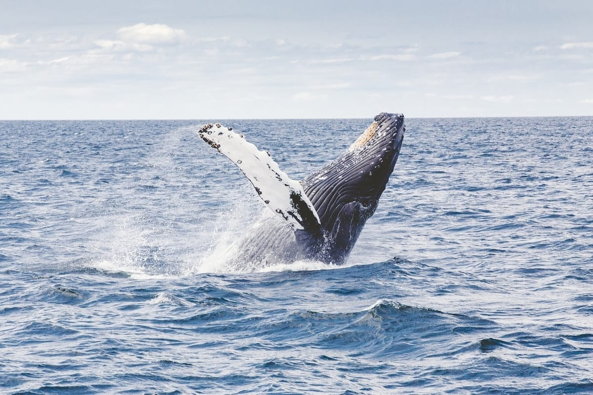 whale half breaching out of water